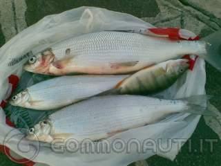 [pesca dei coregoni al lago di garda] tecniche di cattura