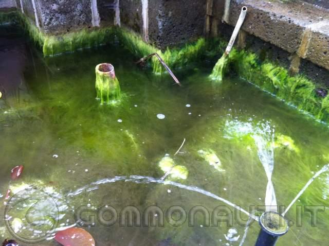 alghe nel laghetto di casa