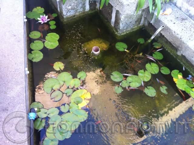 Alghe nel laghetto di casa pag 3 for Alghe filamentose nel laghetto