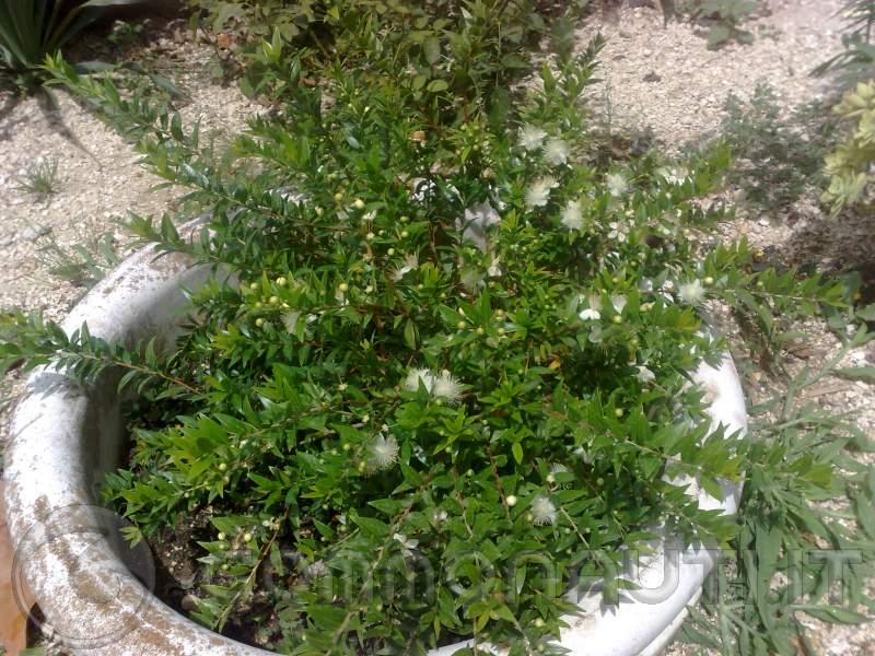 Informazioni sulla pianta di mirto amici sardi dite la for Pianta mirto